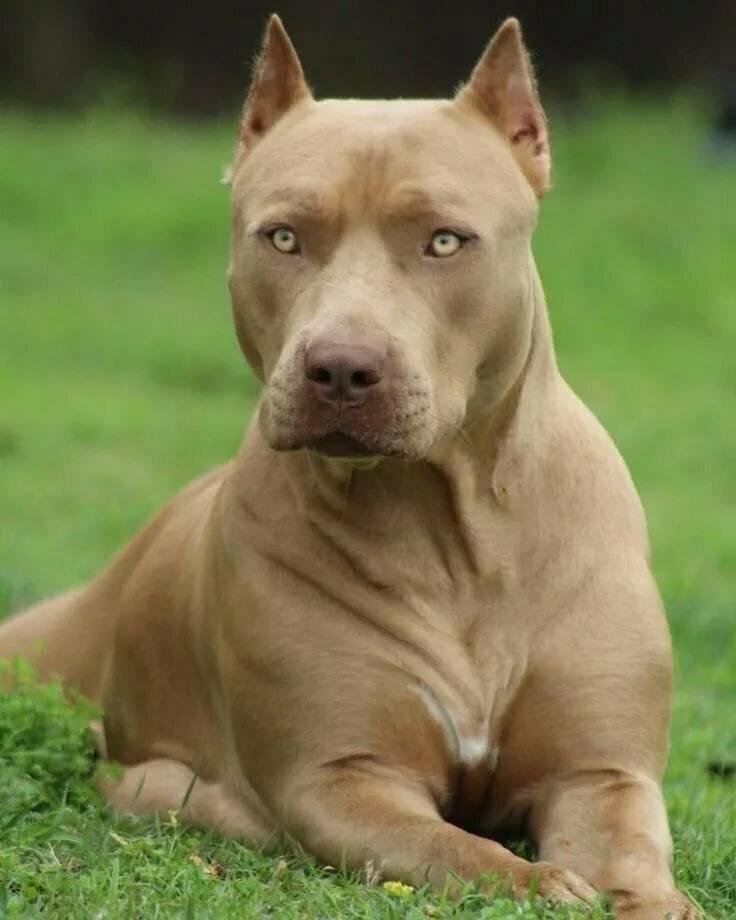 Американский питбуль: описание собаки и фото питбультерьера