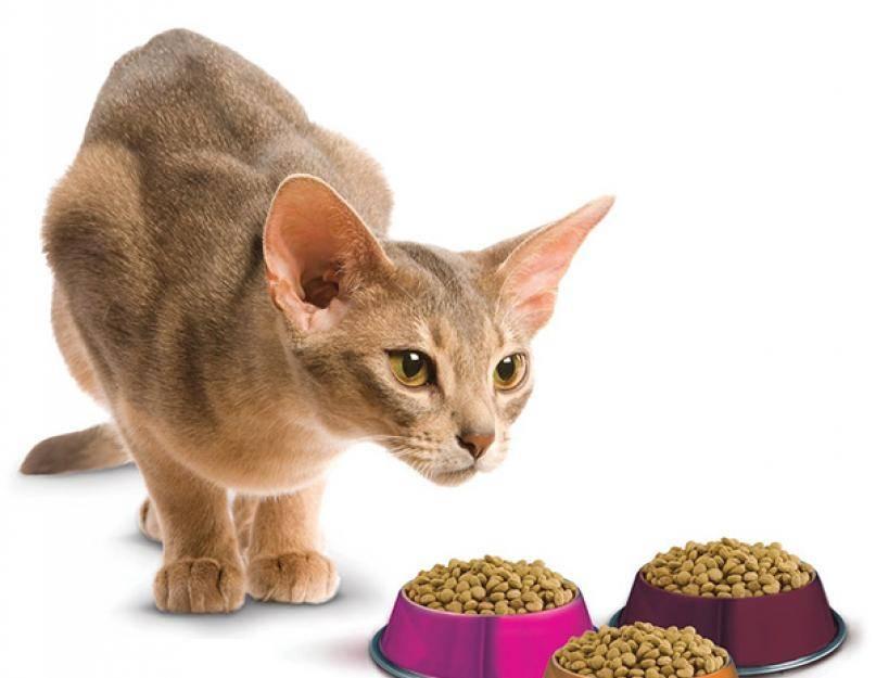Почему кот перестал есть: причины, что делать, если отказывается от еды