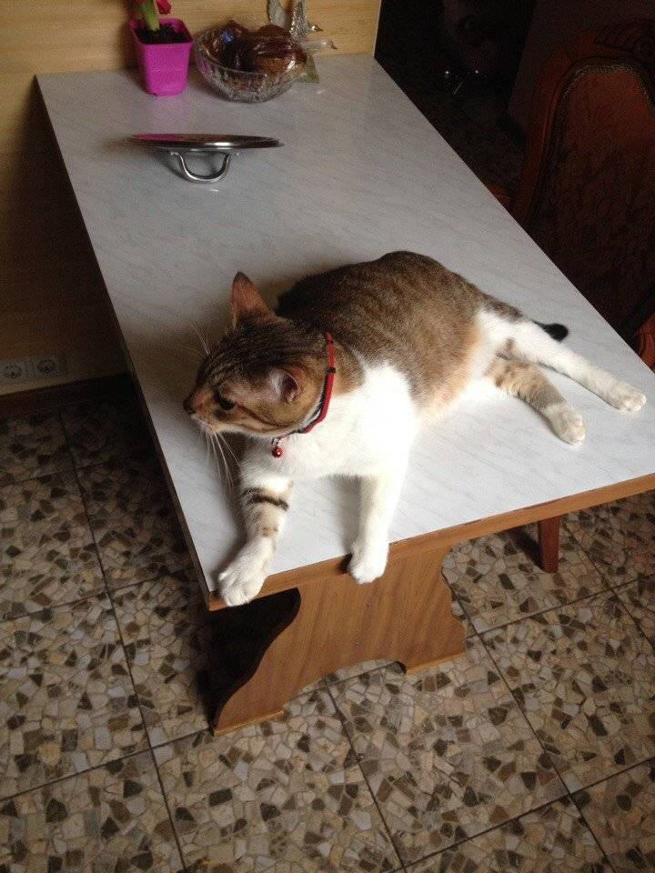 Как отучить кота лазить на стол