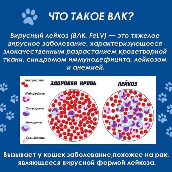 Что делать, если у кошки вирусная лейкемия
