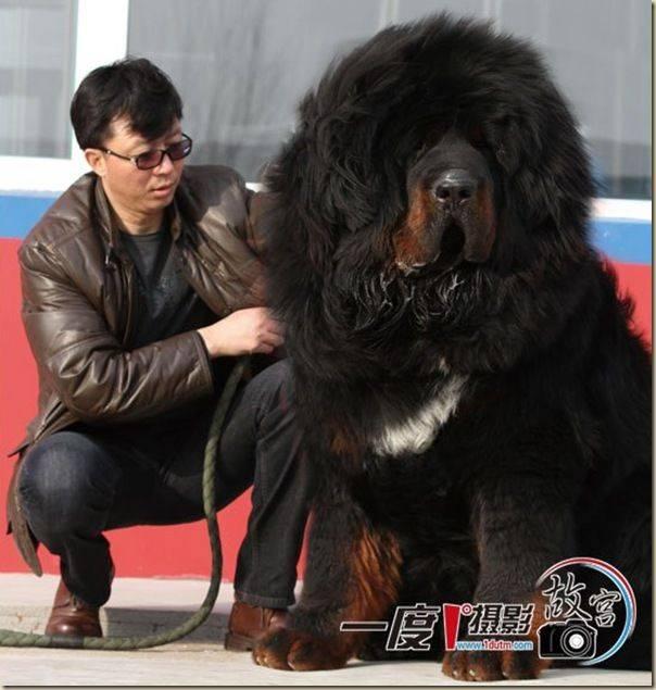 Тибетский мастиф: вес, рост, фото, цена питомца