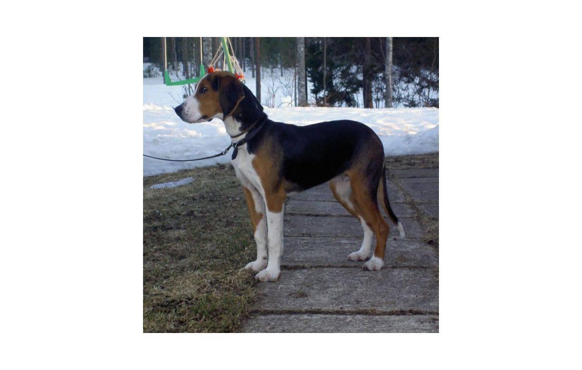 Собаки баварская гончая: описание, фото, характер и уход за породой