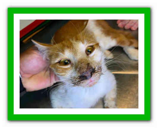 Хронический риносинусит у кошек