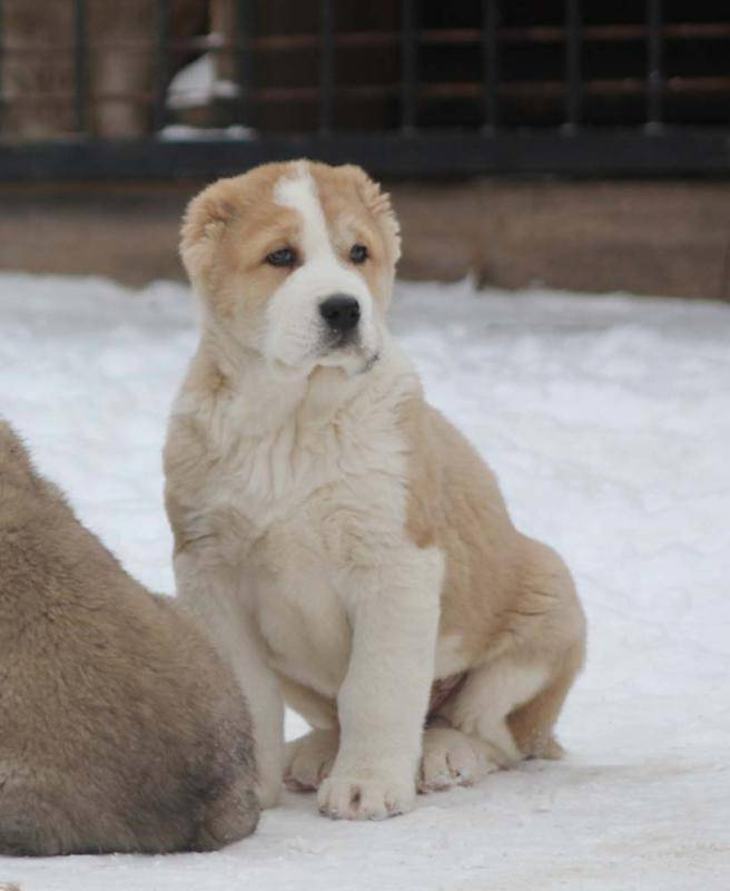 Клички для собак алабай: как назвать мальчиков и девочек среднеазиатских овчарок
