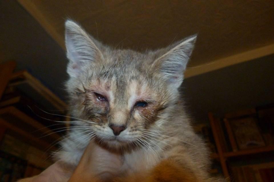 Ринотрахеит у кошек: симптомы, лечение в домашних условиях, вирусный, инфекционный, капли и препараты
