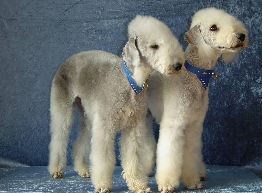 Бедлингтон терьер: фото собаки и описание породы