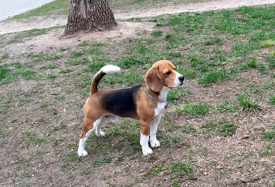 Бигль – небольшой охотничий пес