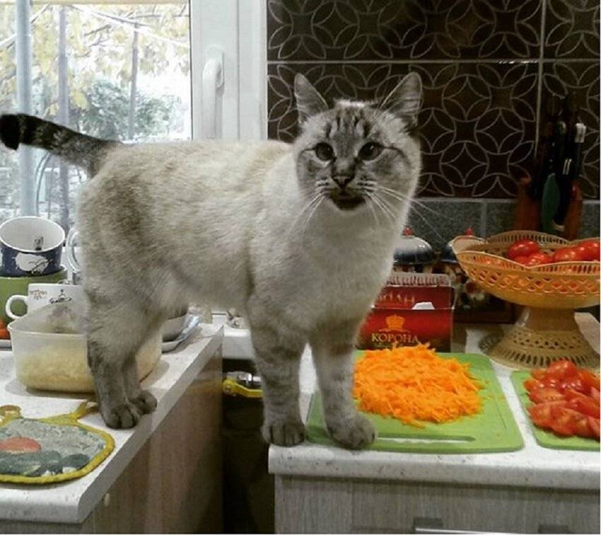 Как отучить кота лазить на стол: советы и эффективные способы