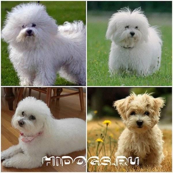 Русские цветные болонки: описание, характер, фото породы | все о собаках