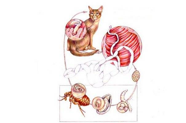 Огуречный цепень (дипилидиоз) у собак и кошек