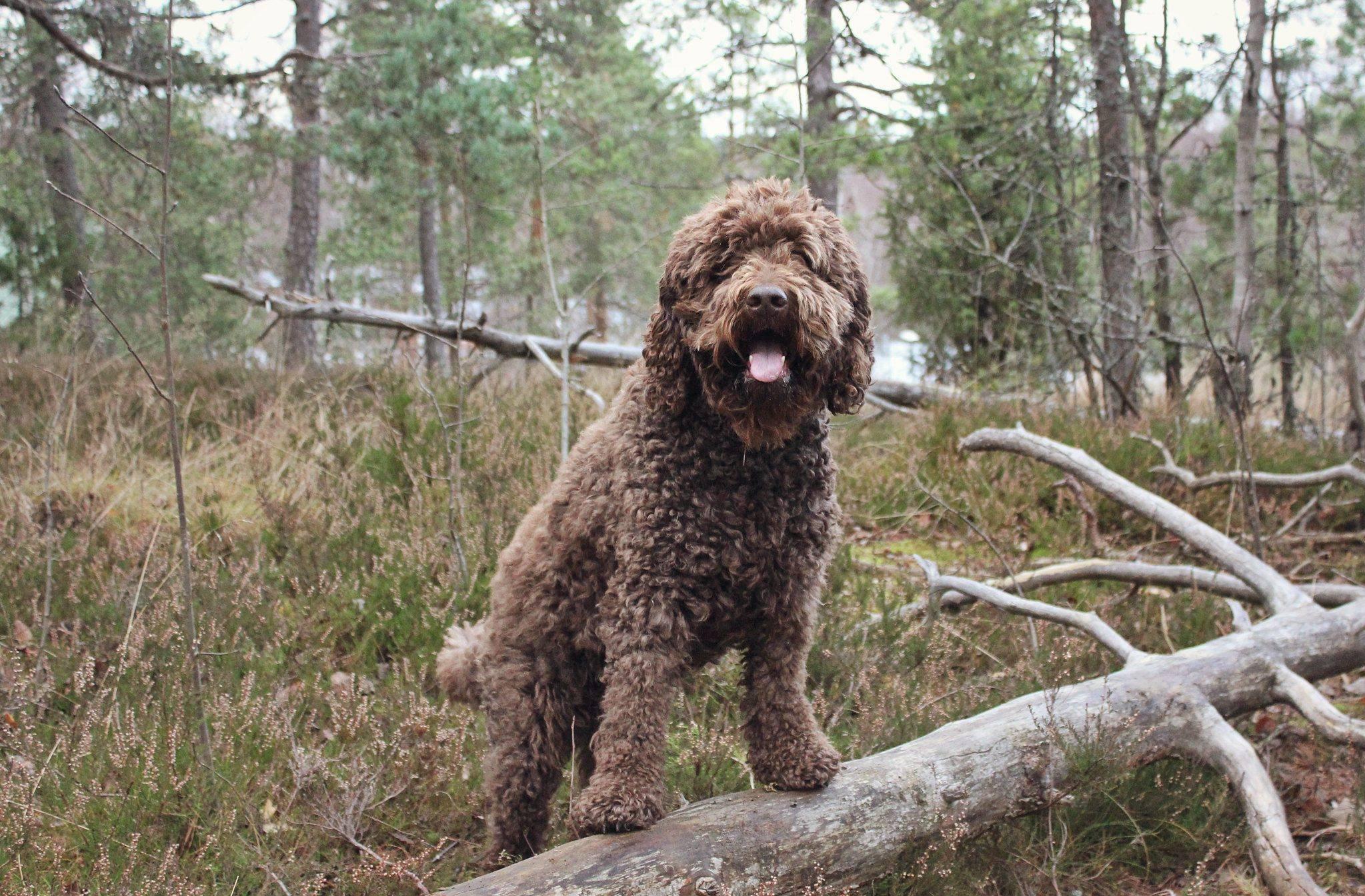 Французский бульдог собака. описание, особенности, уход и цена французского бульдога | sobakagav.ru