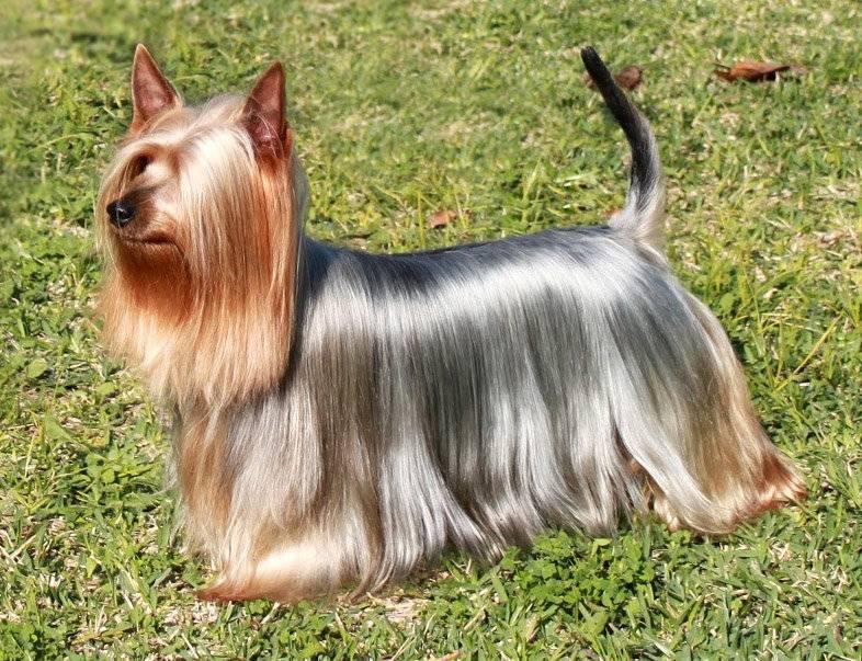 Подробное описание породы собак австралийского шелковистый (силки) терьер
