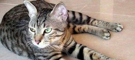Китайские кошки с большими глазами фото, дракон ли?