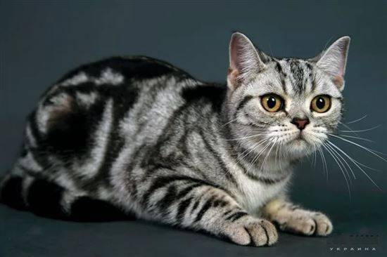 Описание породы американская короткошерстная кошка