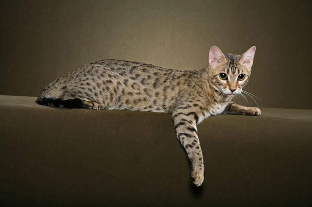 Породы кошек с коротким хвостом   как называется, фото, название