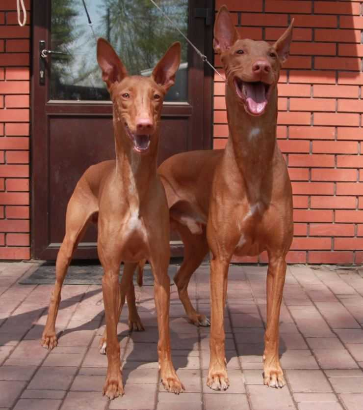 Фараонова собака (фарао хаунд, староегипетская борзая)