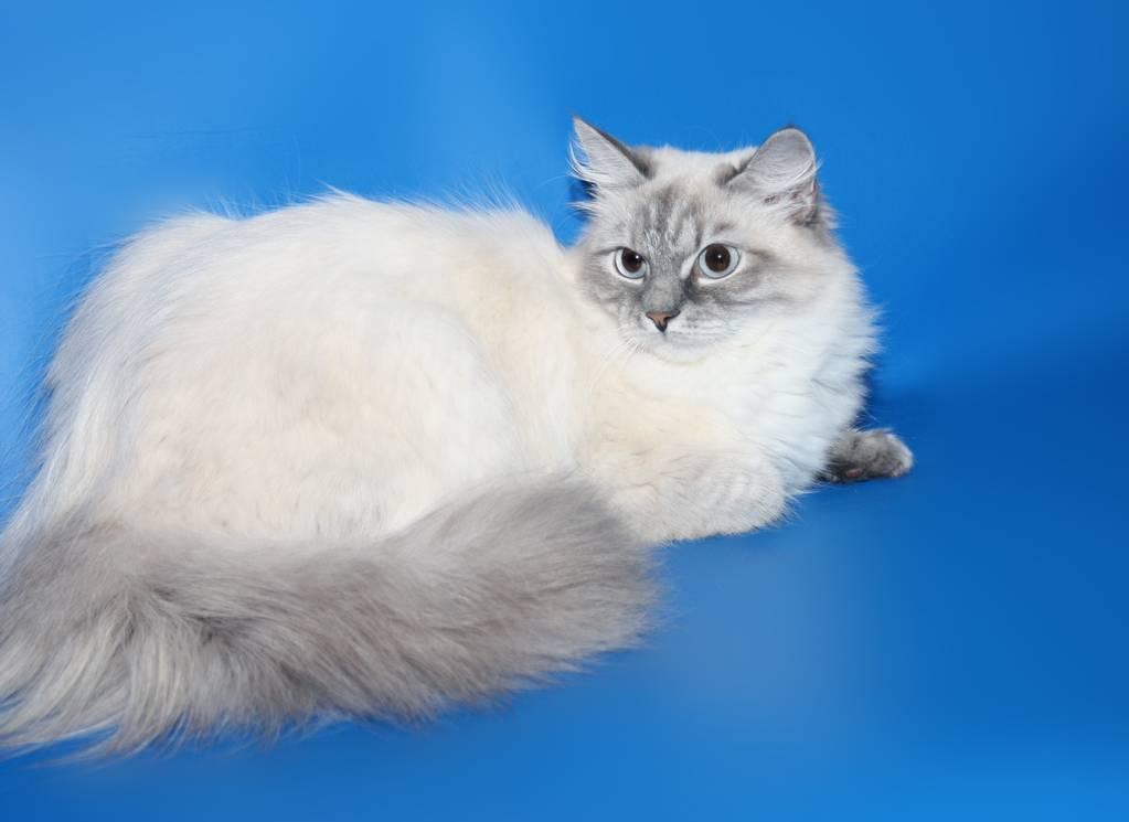 Невская маскарадная кошка: гостья из северной венеции