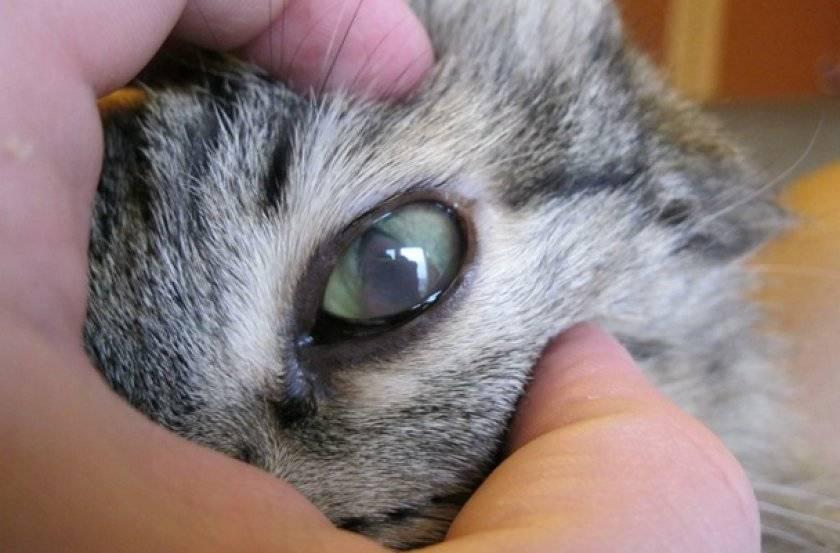 У кота гноятся глаза: симптомы, причины, лечение, профилактика — pet-mir.ru