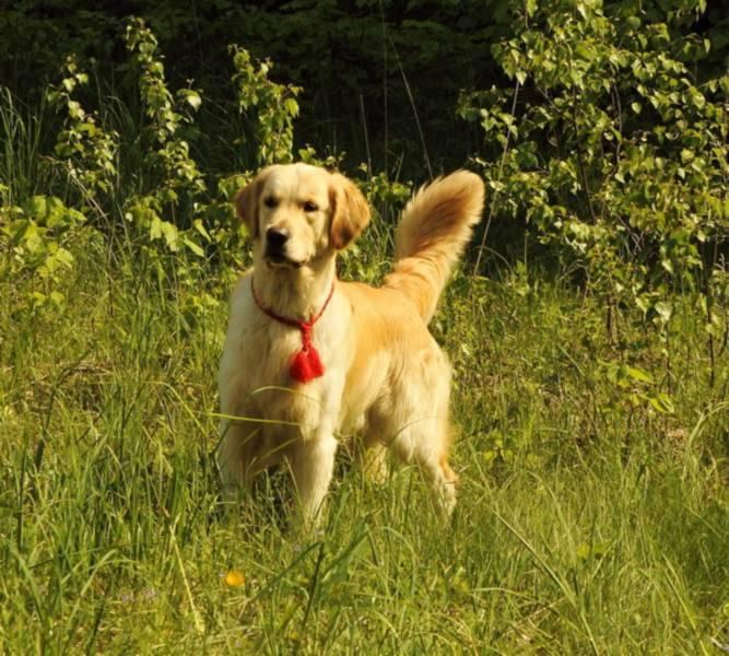 Особенности содержания золотого ретривера: описание породы и правила ухода за собаками | собаки мира