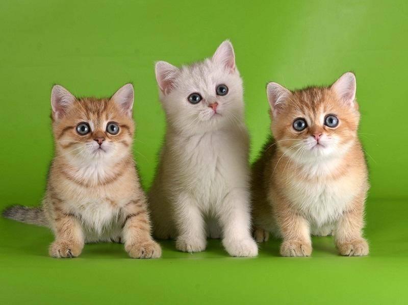 Внешний вид, характер и содержание кошки золотая шиншилла