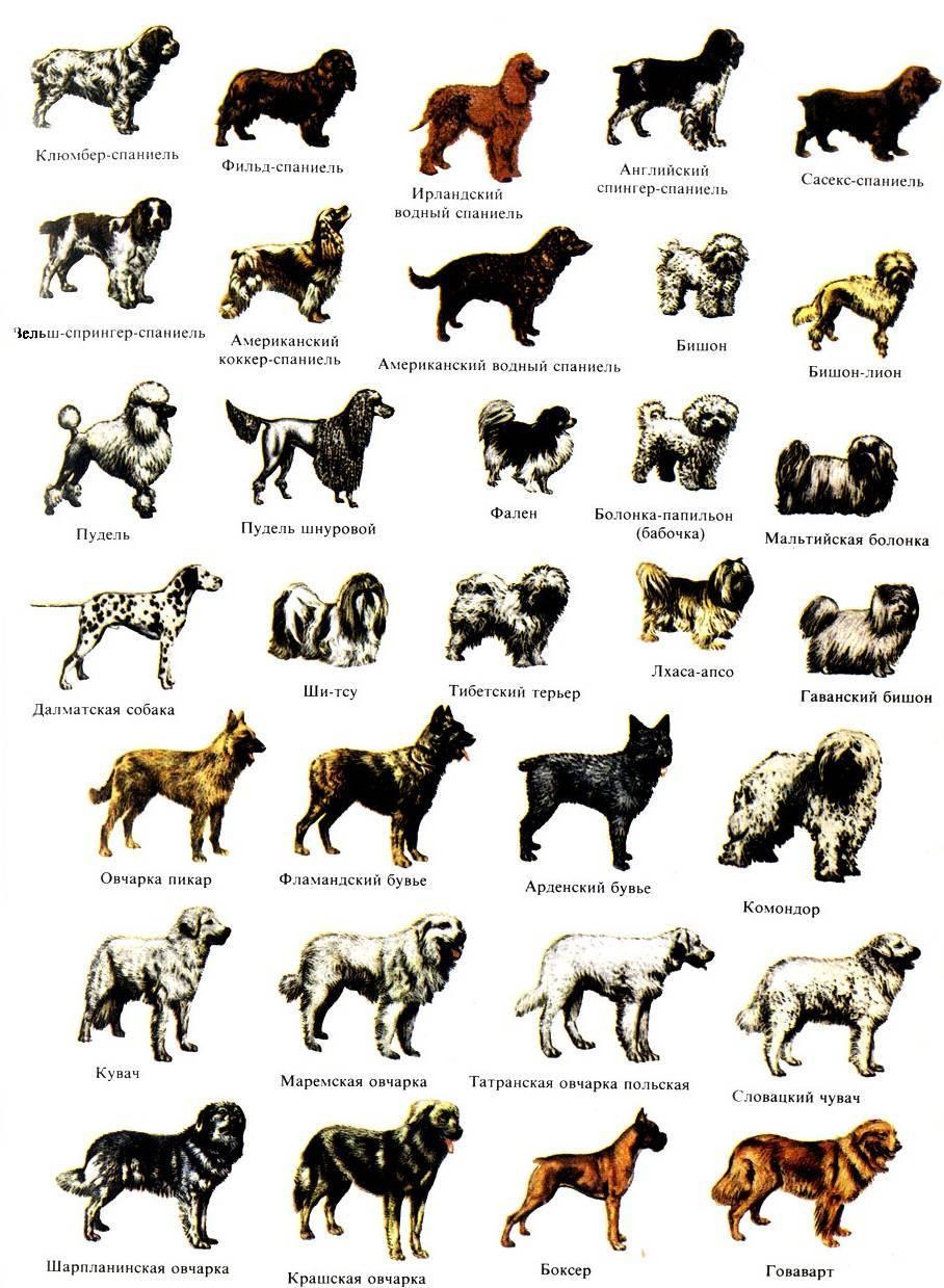 Как определить породу собак? 24 фото как узнать по внешнему виду? тесты на определение породы щенка. как понять, породистая собака или нет?