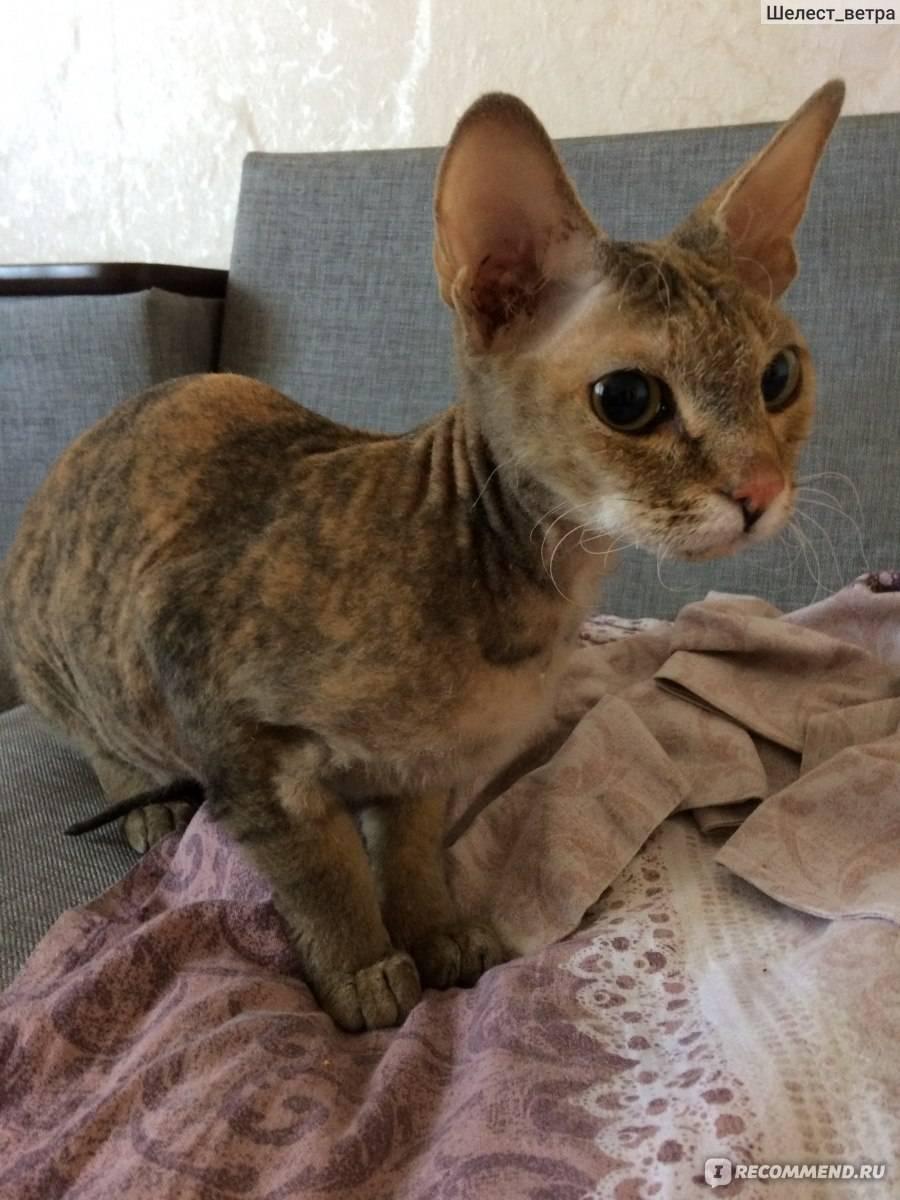 Смесь сиамской кошки с персидской - зоо мир