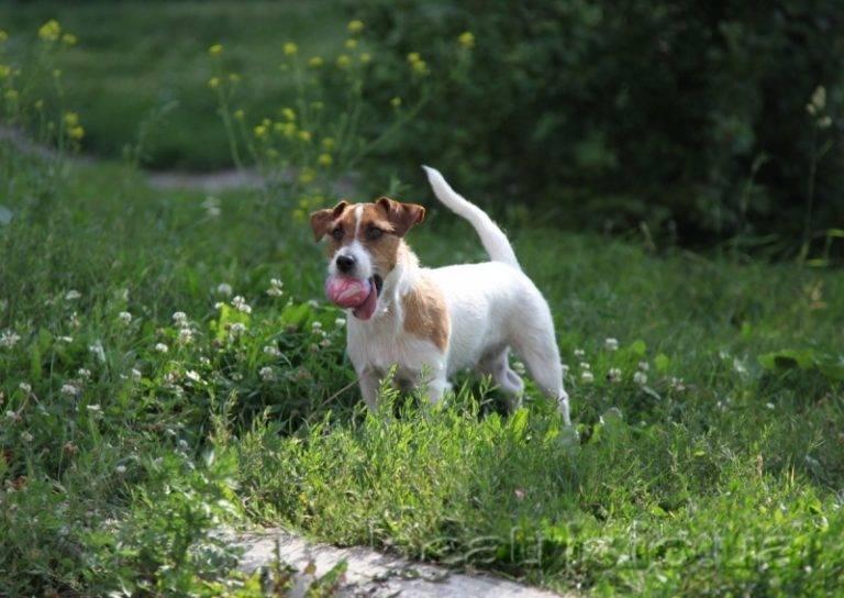 Джек-рассел-терьер: дрессировка и воспитание щенка
