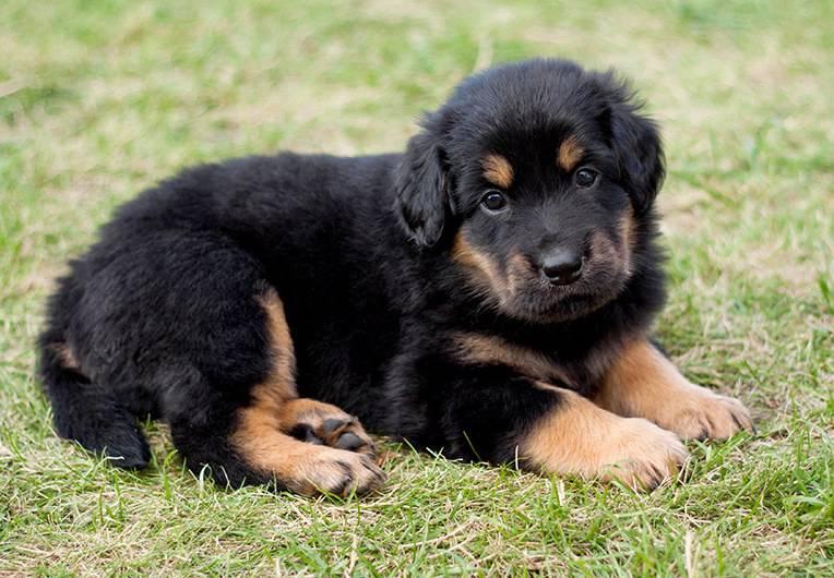 Порода собак ховаварт: фото, описание, стандарты и отзывы владельцев