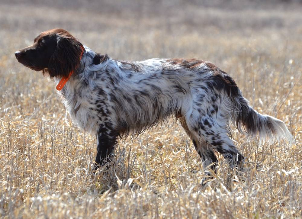 Немецкая овчарка: описание породы, характеристика собаки и щенка, фото, цена