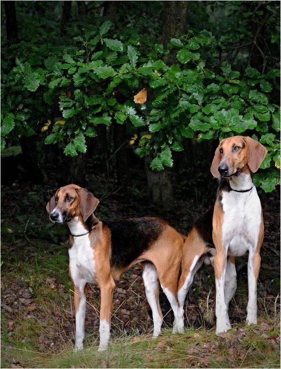 Особенности породы гончая гамильтона, цена собаки