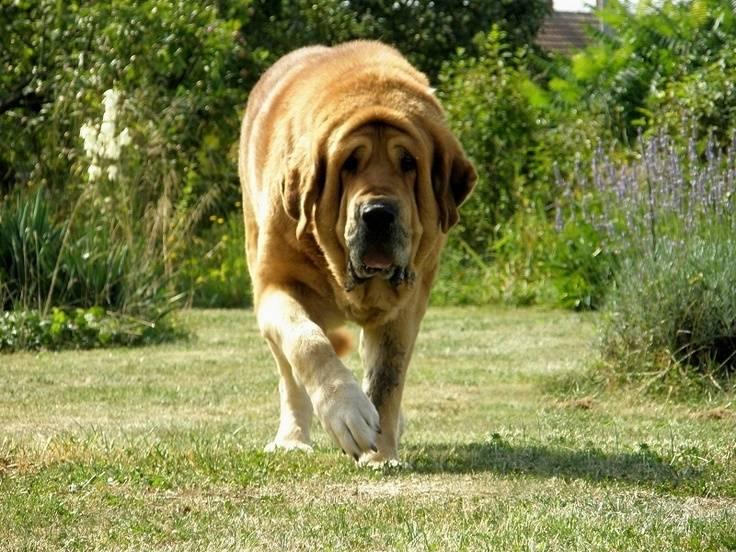 Испанский мастиф: описание породы собак, цена щенка