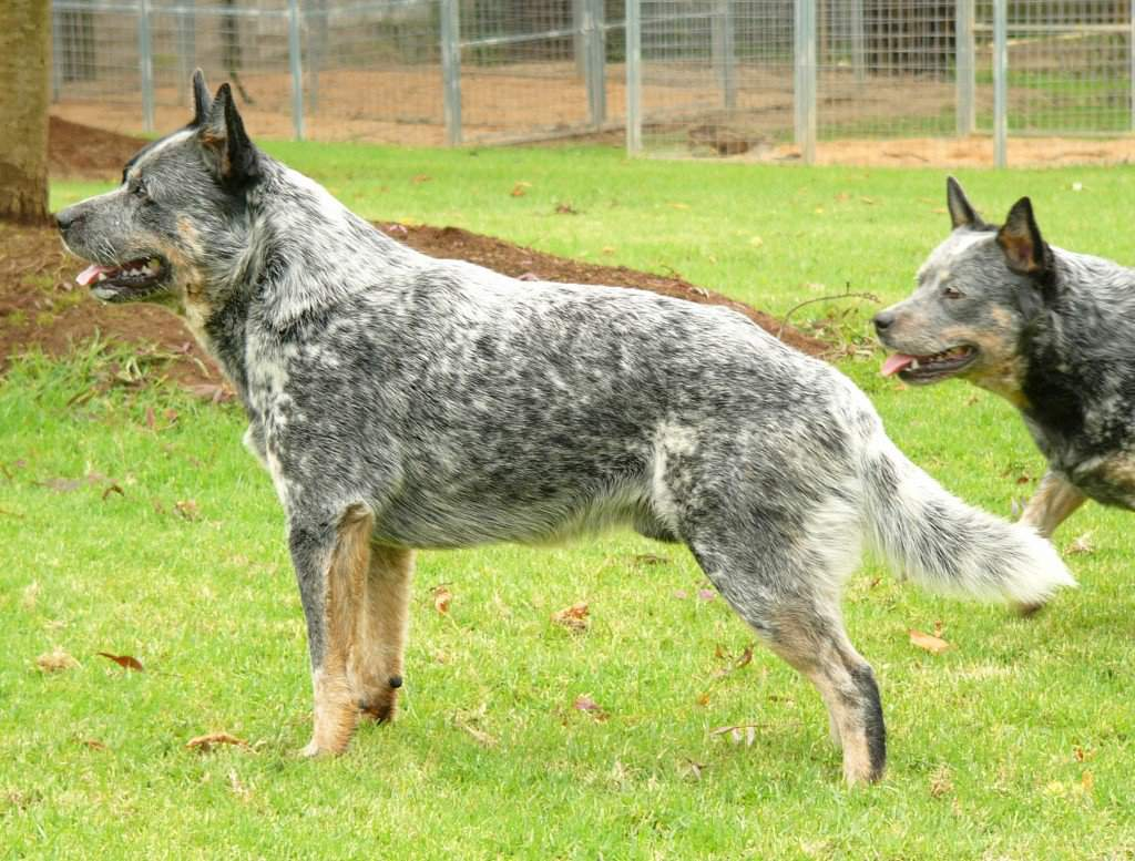 Австралийская короткохвостая пастушья собака — википедия. что такое австралийская короткохвостая пастушья собака