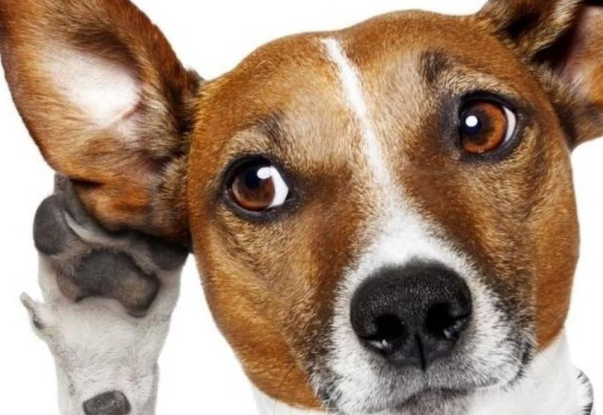 Почему собаки наклоняют голову, когда мы с ними разговариваем: мнения специалистов