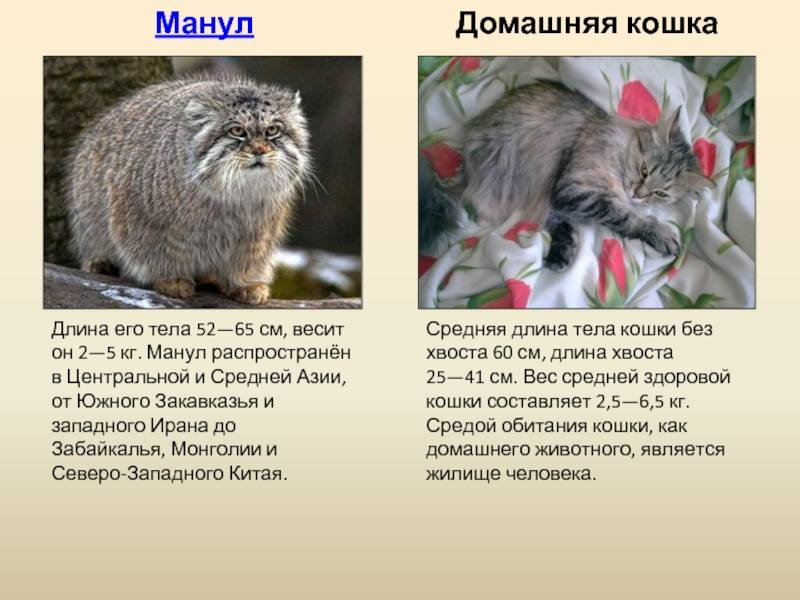 Кот манул: наружность, характер и образ жизни