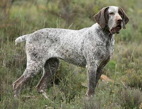Борзые породы собак – самые быстрые охотники в мире