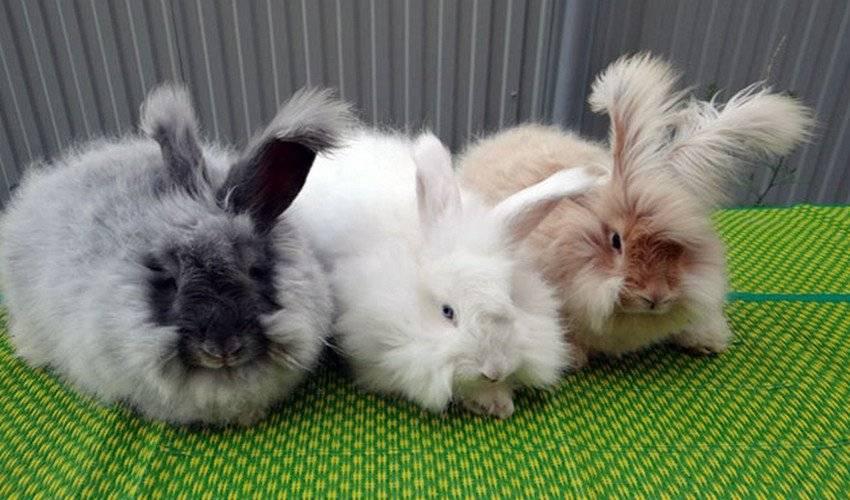 Интересные факты об ангорских кроликах