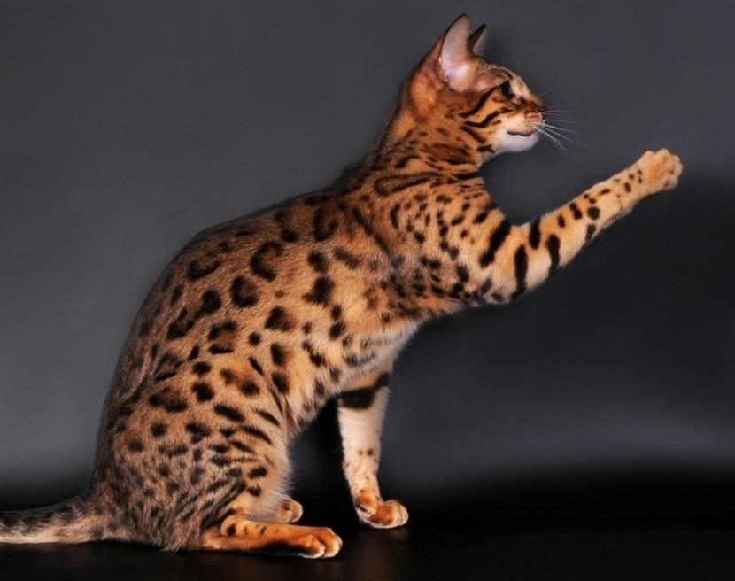 Леопардовая кошка азиатская: описание породы, среда обитание, приручение