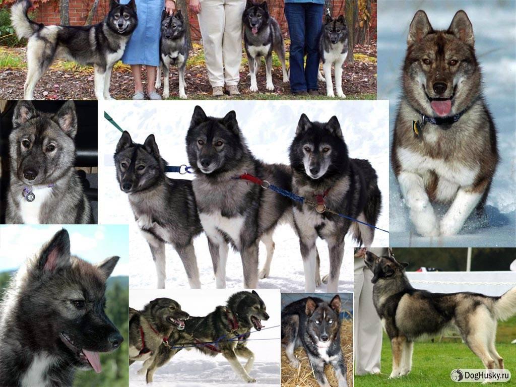 Как выглядят белые хаски: история происхождения собак и основы грамотного ухода