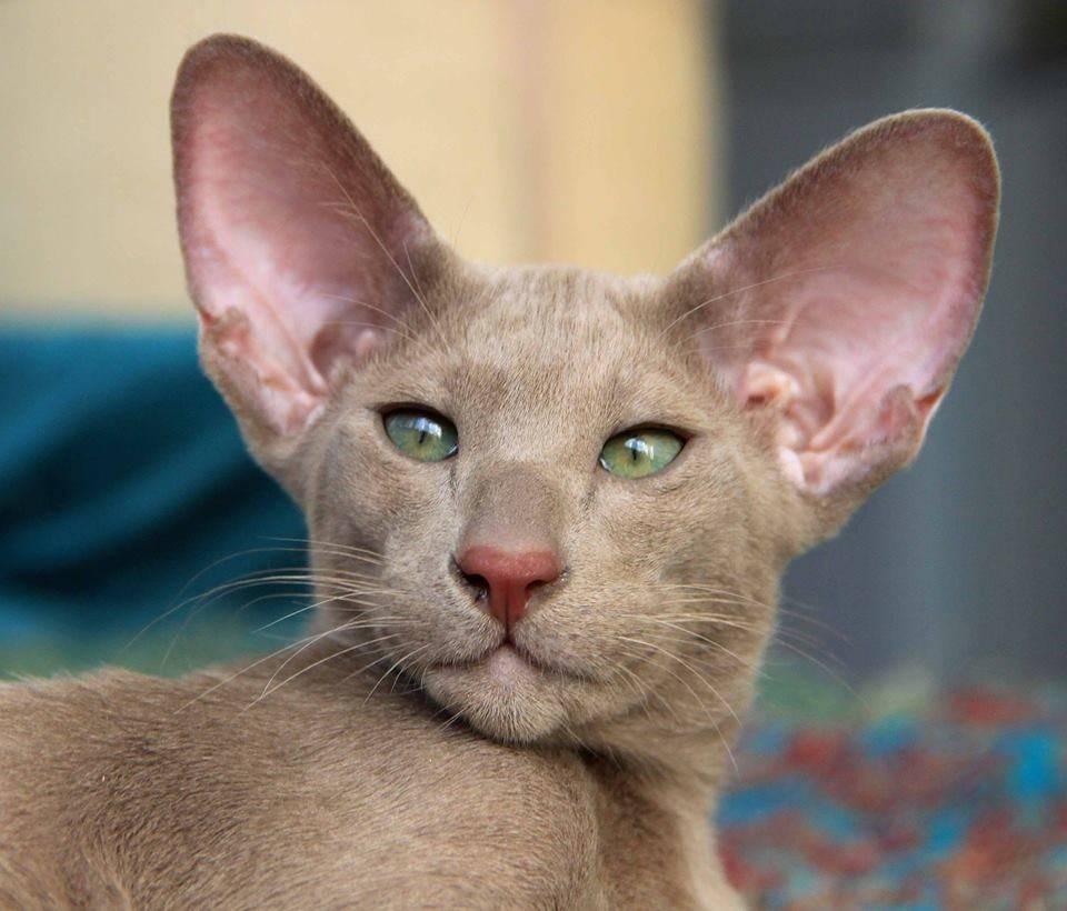 Топ-10 пород кошек с большими ушами