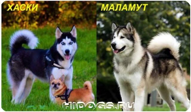 В чем отличия маламута от хаски: особенности характера пород и кого лучше выбрать