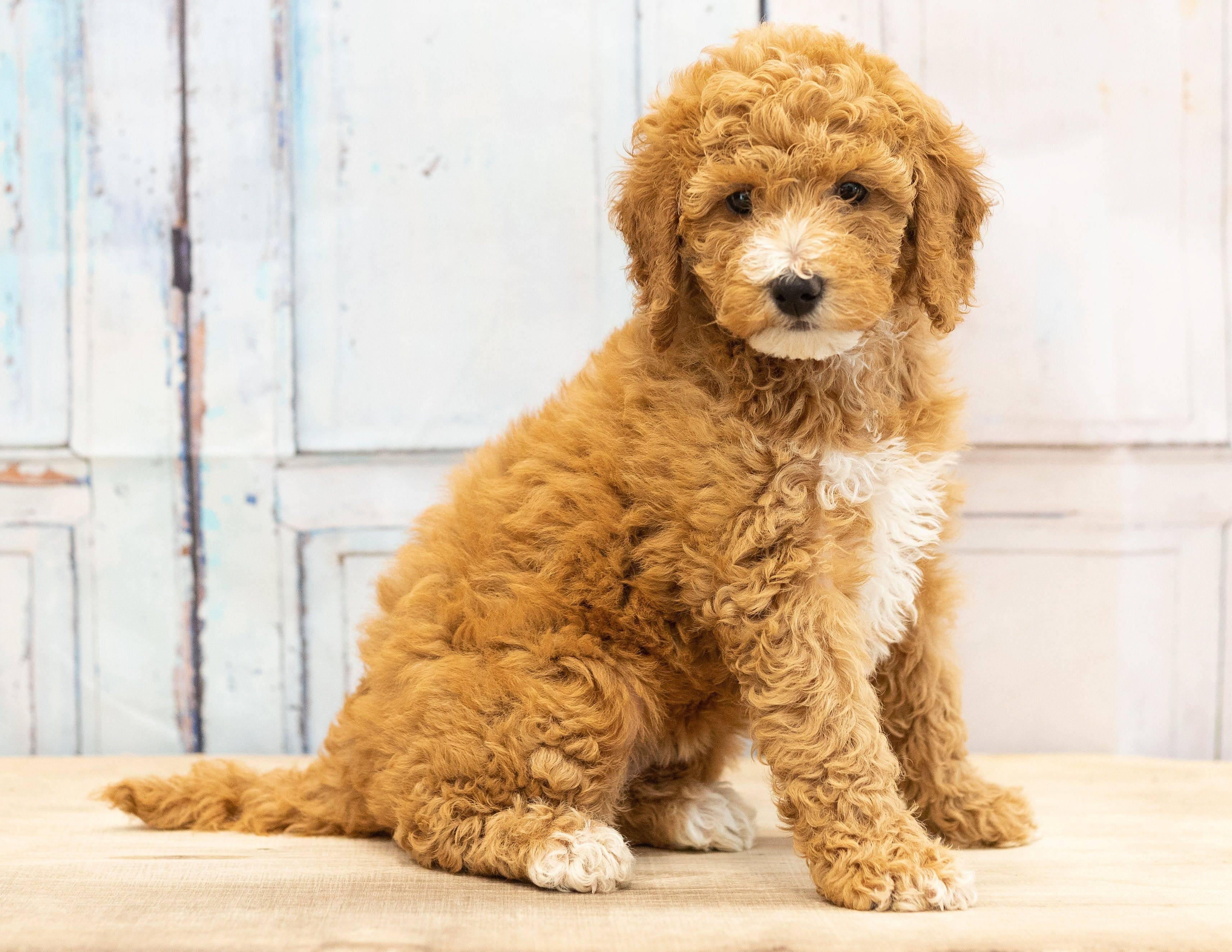 Нелиняющие породы собак: 20 гипоаллергенных пород. собаки, которые не линяют: фото и описание. - petstime.ru