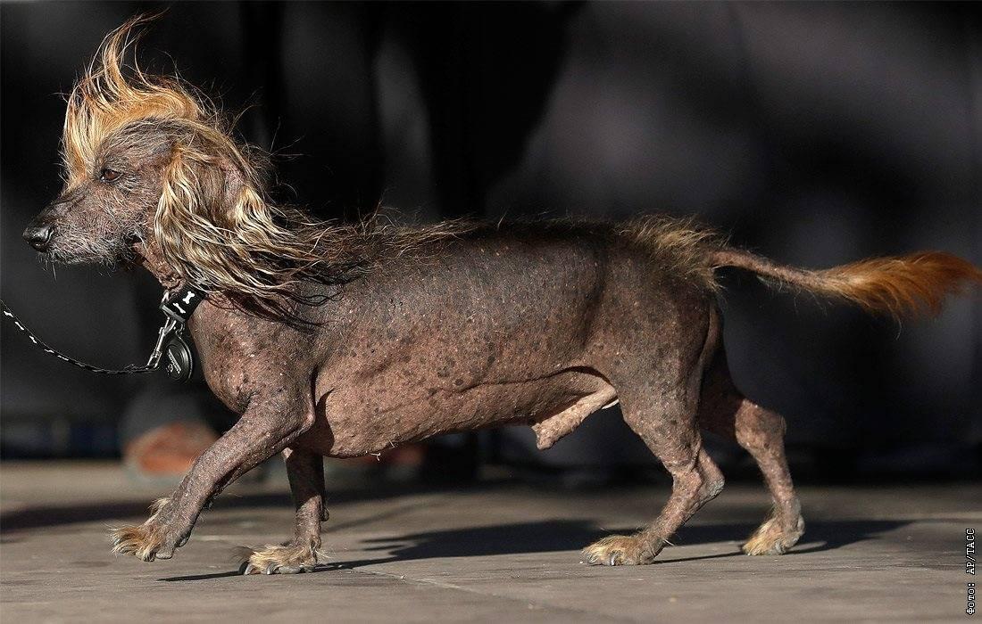 Топ-10 некрасивых пород собак