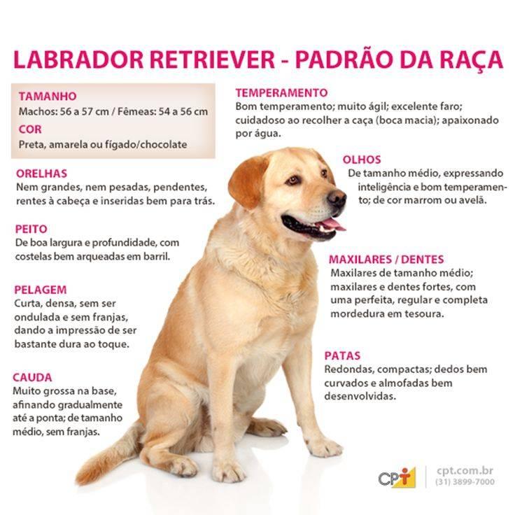 Вес и рост лабрадора по месяцам, фото и таблица размеров щенка и взрослой собаки