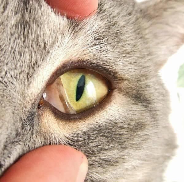 Гноятся глаза у котёнка: чем лечить в домашних условиях малыша и взрослого кота или кошку
