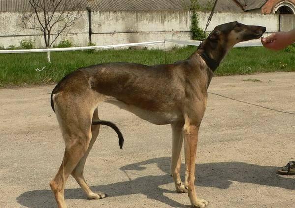 Русская псовая борзая — фото, описание породы собак, особенности