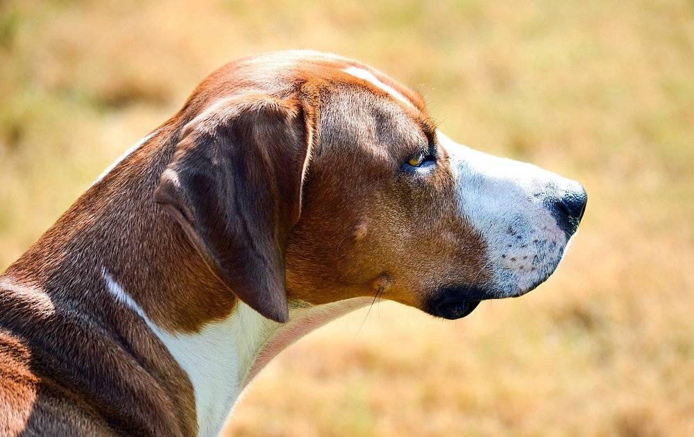 Финская гончая — фото, описание породы собак, особенности характера