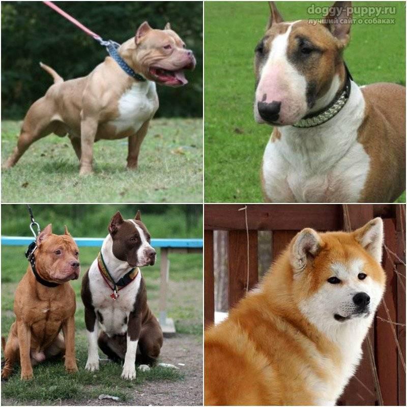 Бойцовские породы собак: список представителей «профессии»