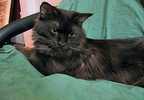 Йоркская шоколадная кошка - описание породы