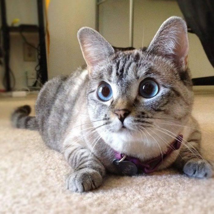 Самая красивая порода кошек в мире. а вы согласны?!