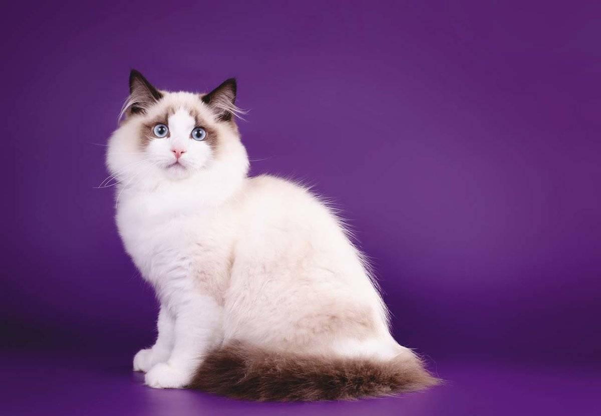 Кошка рэгдолл: описание и характер породы, основы ухода, фото